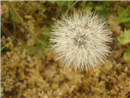 MO 10 Salsify Seeds