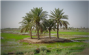IQ 03 Dates Palms in Iraq