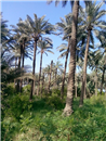 IQ 04 Dates palms in Iraq - Diyala Province