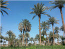 IQ 08 Dates palms in Iraq - Najaf Province